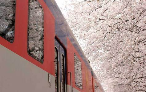spring-japan-cherry-blossoms-national-geographics-131