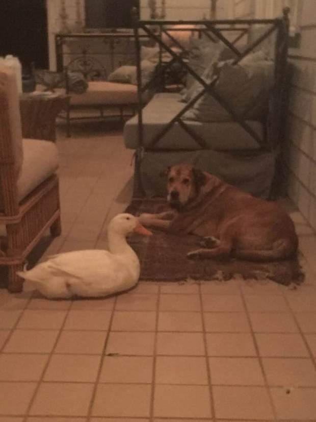 pato y perro 3