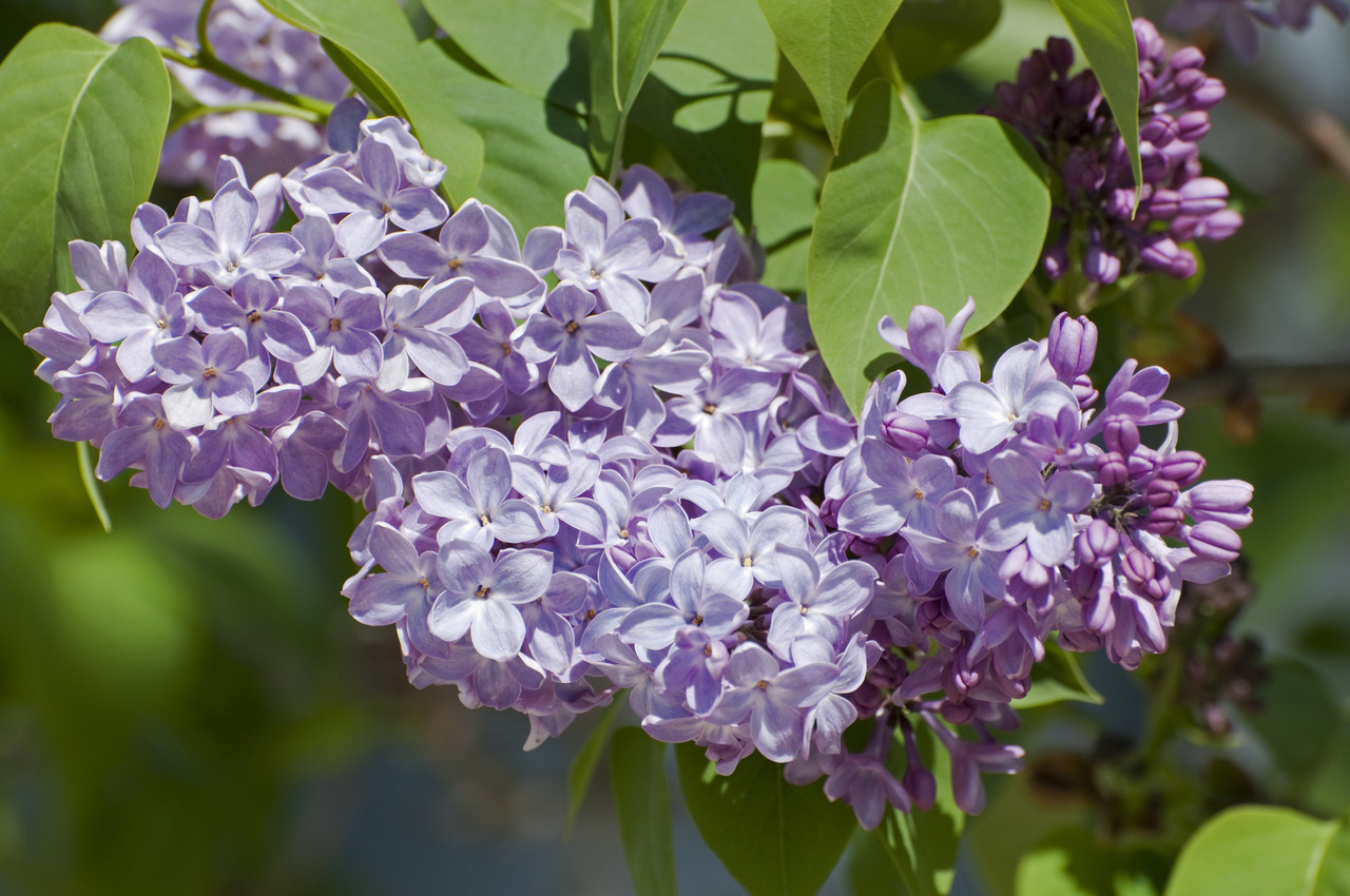 Pretty Green Leaves Trees South Africa Purple Flowers Click To View Full Size Image Branched Lilac Trees Tall Fragant Purple Flowers Trees Purple Flowers houzz-03 Trees With Purple Flowers