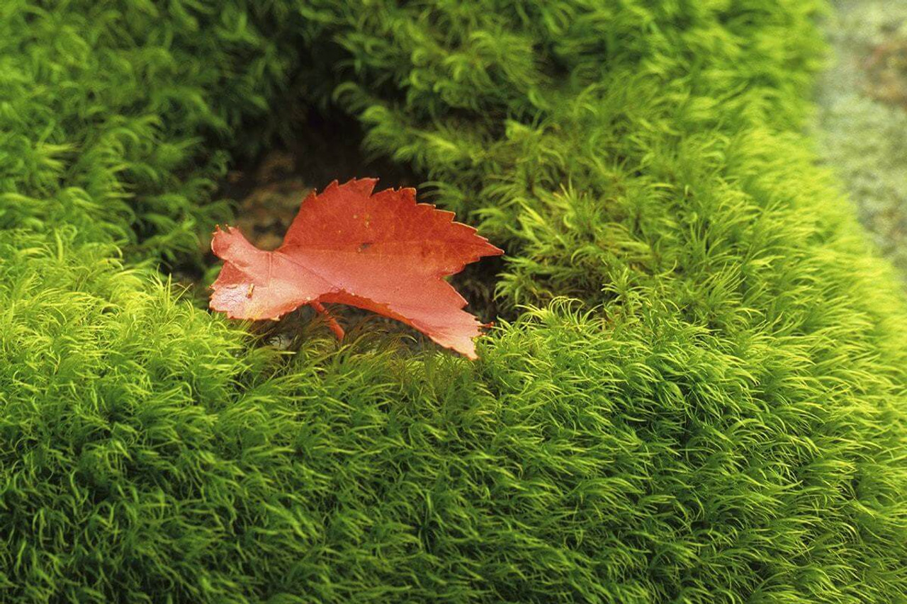 Dining A Shade Loving Plant Moss Sale Irish Moss Ground Cover Images Sale Low Fast Ship Irish Moss Ground Cover houzz-03 Irish Moss Ground Cover