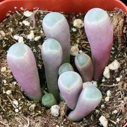 Small Crop Of Baby Toes Succulent