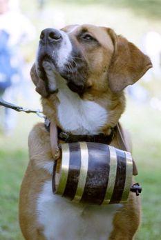 Perro san bernardo con barril