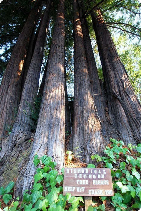historical redwoods