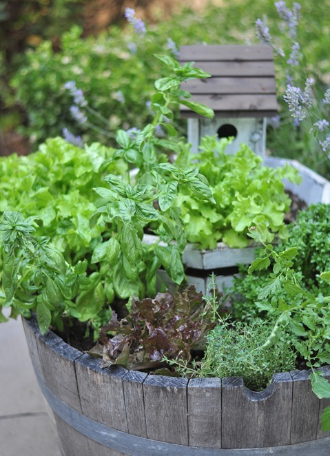 growing lettuce garden