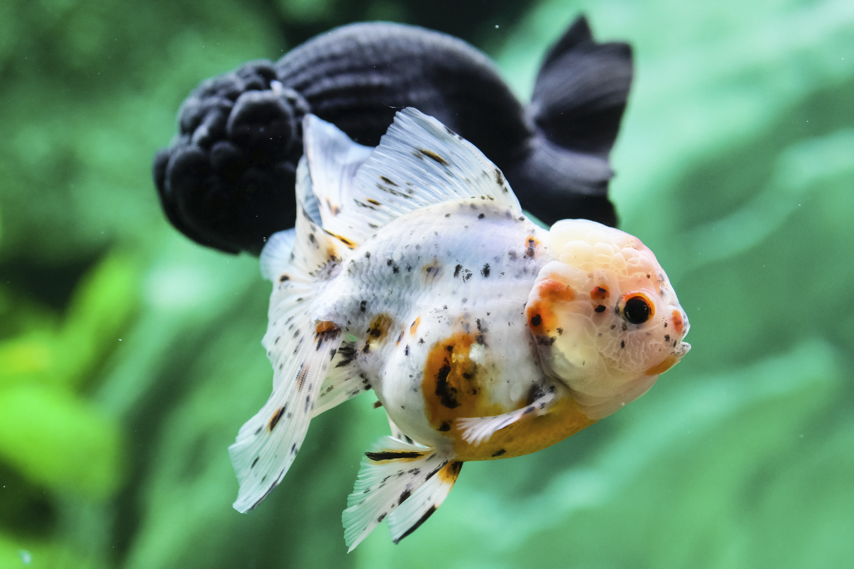 Charm A Tank Black Molly Fish Price Black Molly Fish Tank Fish Feng Shui Lucky Number houzz-02 Black Molly Fish