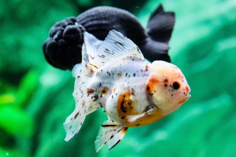 Large Of Black Molly Fish
