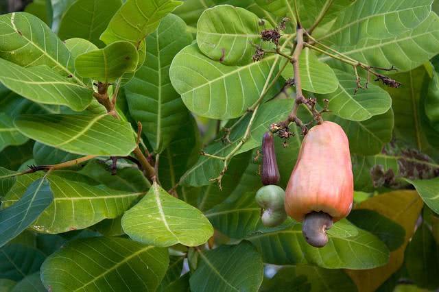 Debilidade muscular Tome chá da folha de cajueiro