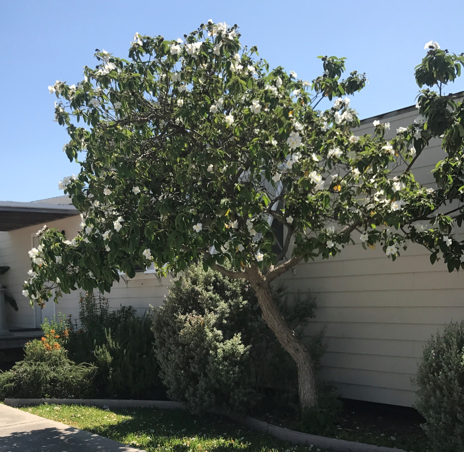 Breathtaking Humans Andor Tree Has A Lifespan Container Olive Tree Louisiana May Flowers At Community Center Gardens Olive Tree Y Are But Slightly Toxic Causing Dizziness houzz-02 Sweet Olive Tree