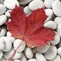 stock-photo-11016905-one-autumn-leaf-on-a-white-pebble-background_thumb