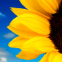 stock-photo-2031738-sunflower_thumb