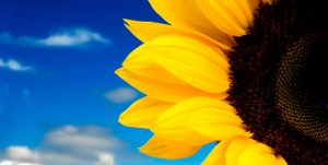 stock-photo-2031738-sunflower