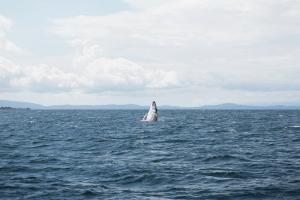 Humpback Whale Tours Osa Peninsula