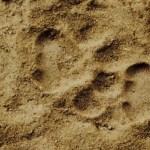Leopardenabdruck