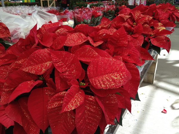 lowes-poinsettia.jpg