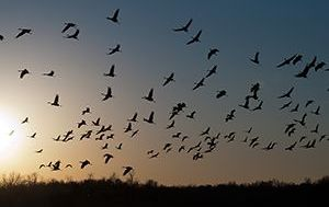 crane-migration.jpg