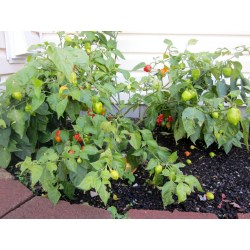 Small Crop Of Ghost Pepper Plant
