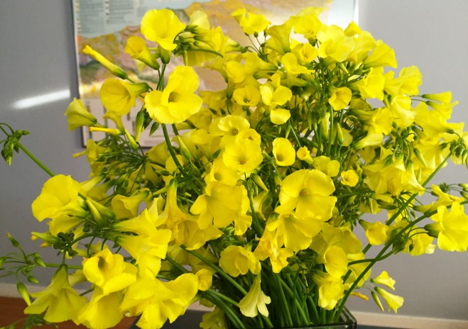 A close up view of my woodsorrel bouquet. Woodsorrel is also sometimes called sourgrass.