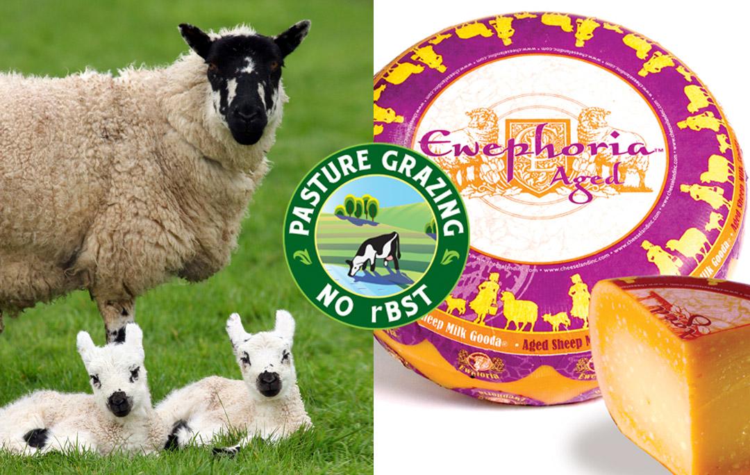 ewephoria sheep milk gouda grass fed