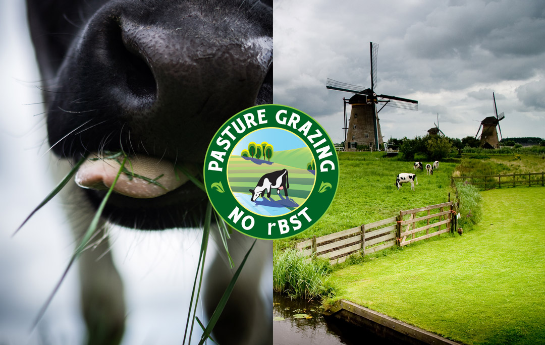 grass fed pasture grazing cheese