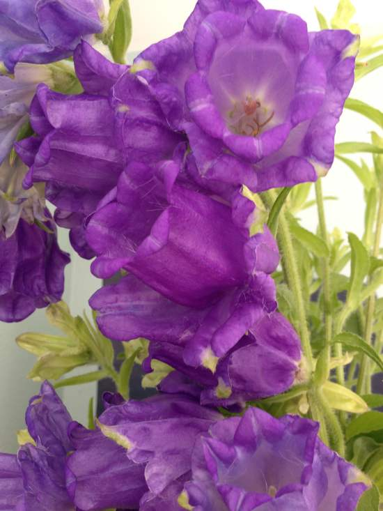 Campanula Cup and Saucers