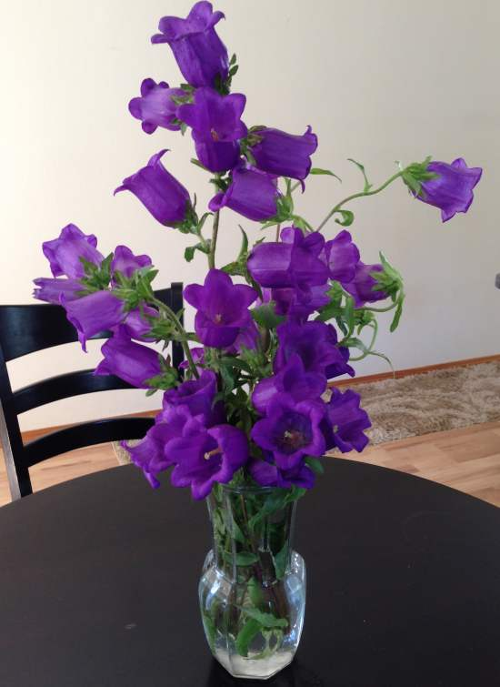 Campanula medium bouquet