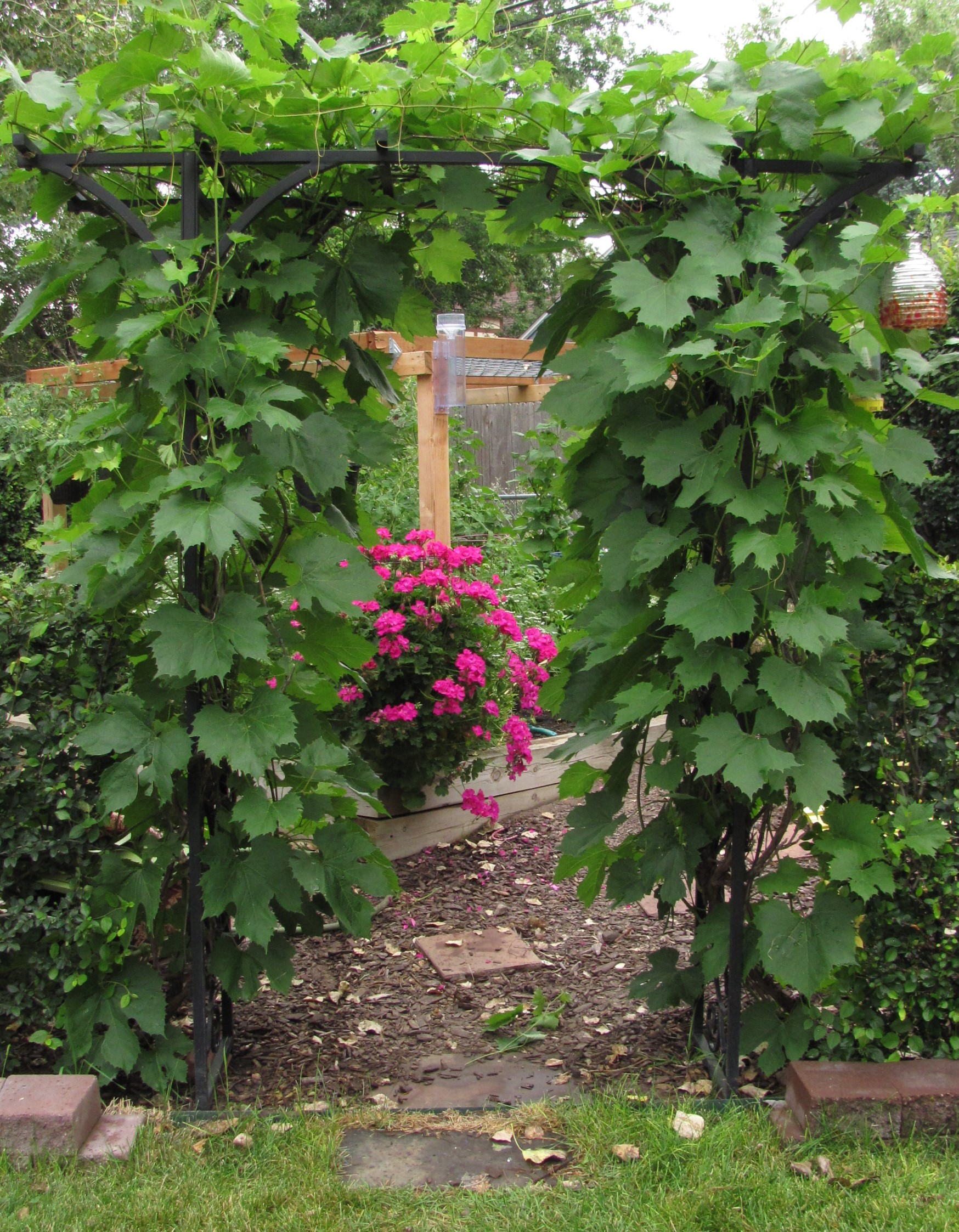 Top 2015 11mullikin Arbor Grapes By Barb Gorges Silver Lace Vine Invasive Silver Lace Vine Spacing houzz-02 Silver Lace Vine