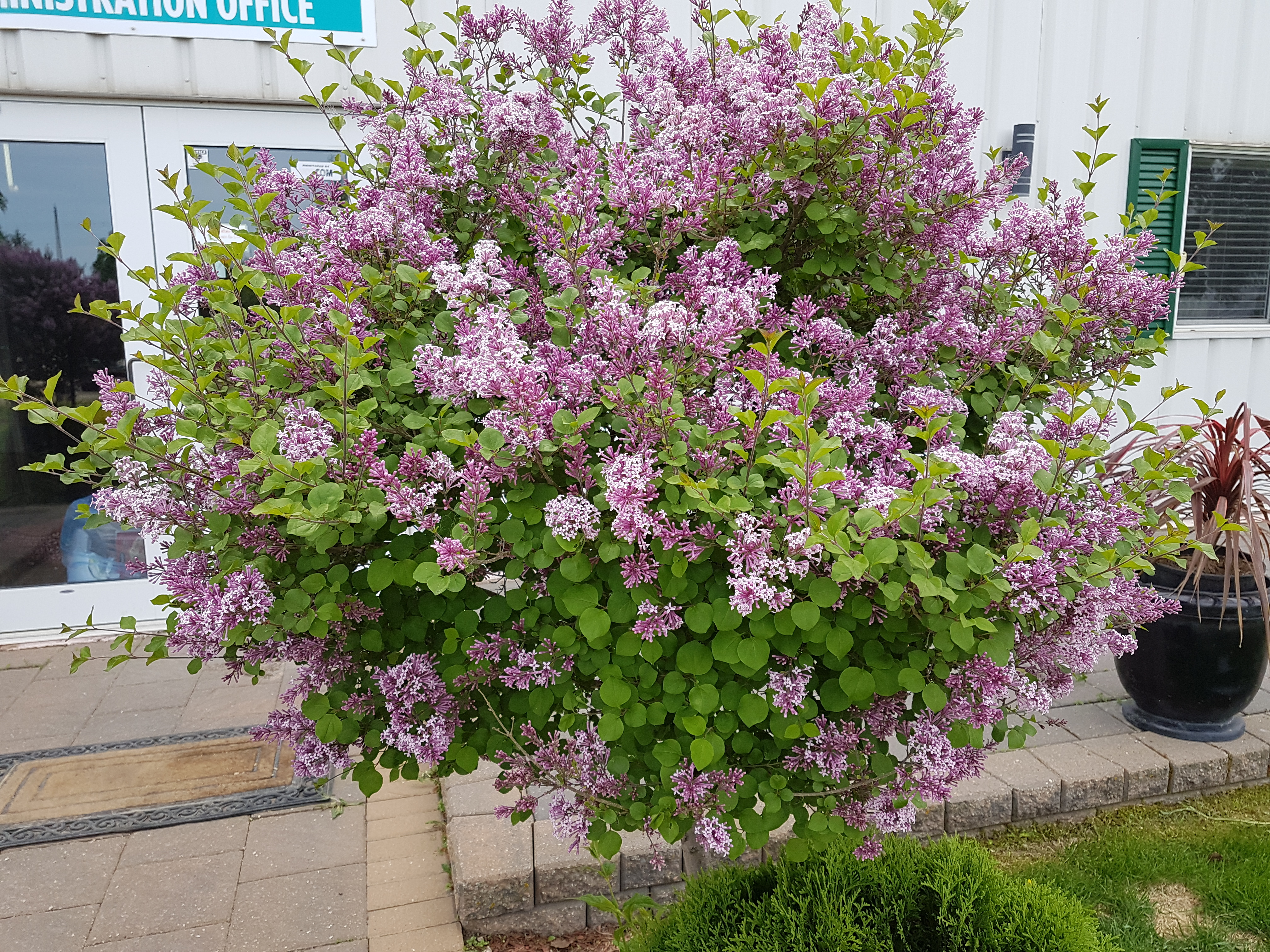 Cool Yearly Pruning Afterflowering Not Only Maintains Rounded But Helps To Ensure Thatstress Is Dwarf Korean Lilac Tg Chnne Tree Farm Shrubs Lilac Pink Flowers Cover Tree houzz-02 Dwarf Korean Lilac