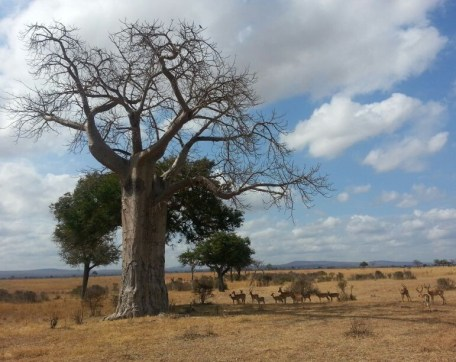 Baobab tree and antelopes in Mikumi National Park