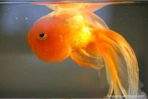 金魚横向き