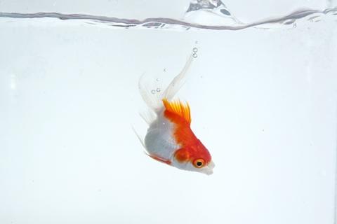 金魚 横向き