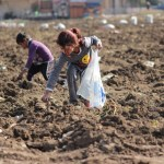 Syrian refugee children at work in the fields in Lebanon