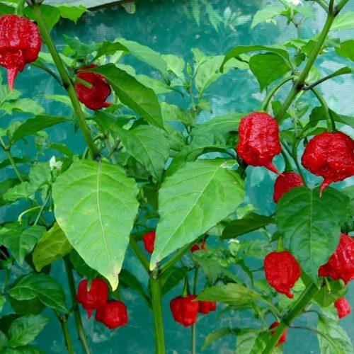 Medium Crop Of Carolina Reaper Plant