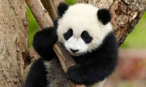 Giant-Panda-Cub-Chengdu-Sichuan-China