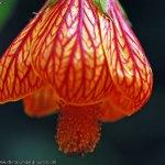 flor-de-mal-china-012