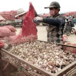 CHINA-AGRICULTURE-GARLIC
