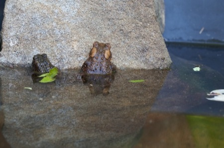 two_toads_in_small_pond