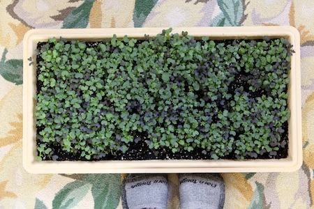 spicy microgreens 1