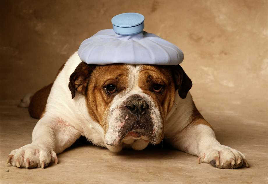 Dor em cães: saiba identificar