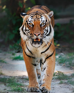 indo-chinese-tiger