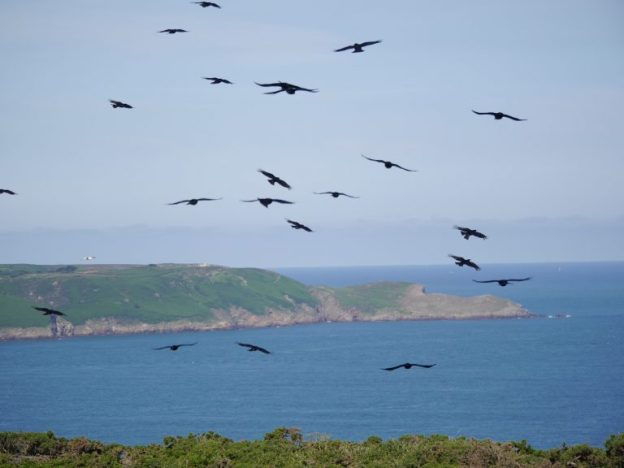Part of the flock of choughs now on the Jersey coast