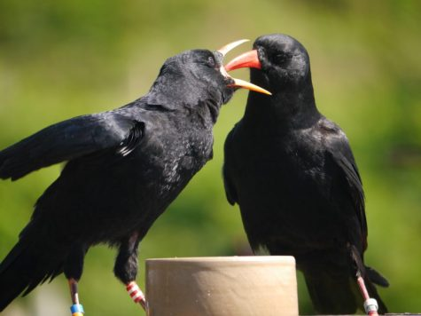A wild chough chick being fed by its parent