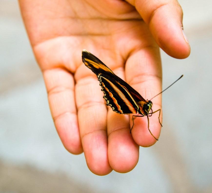 butterfly_haga