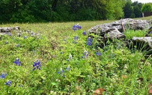 bluebonnets in Round Rock, Texas