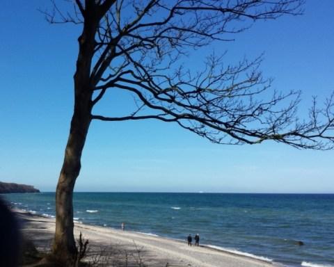 Windgepeitschter, blattloser Baum am Ostseestrand bei knallblauem Himmel