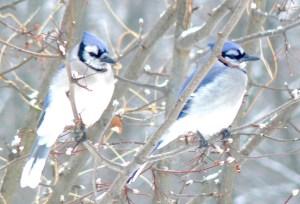 13B. bluejays – Version 2