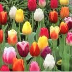 muti-hued-tulips