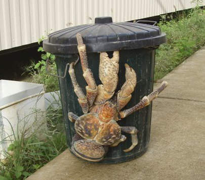 coconut_crab