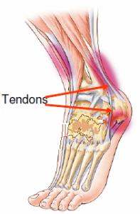 Schéma tendon du pied