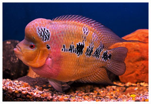 Pin Tips About Cichlids Learn How To Breed Red Devil on Pinterest