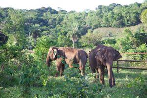 Maia (esq) e Guida (dir) chegaram dia 11/10 ao Santuário de Elefantes Brasil